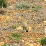 Wheatear on the ground