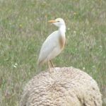 Cattle Egret on sheep
