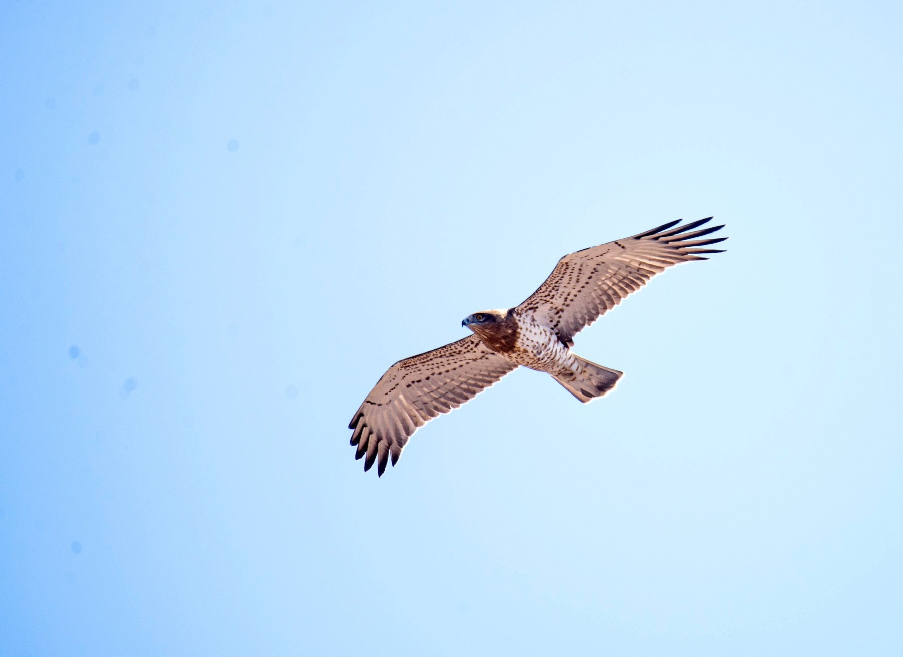 Short-toed Eagle flying