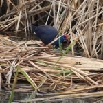Purple-Swamphen in the vegetation