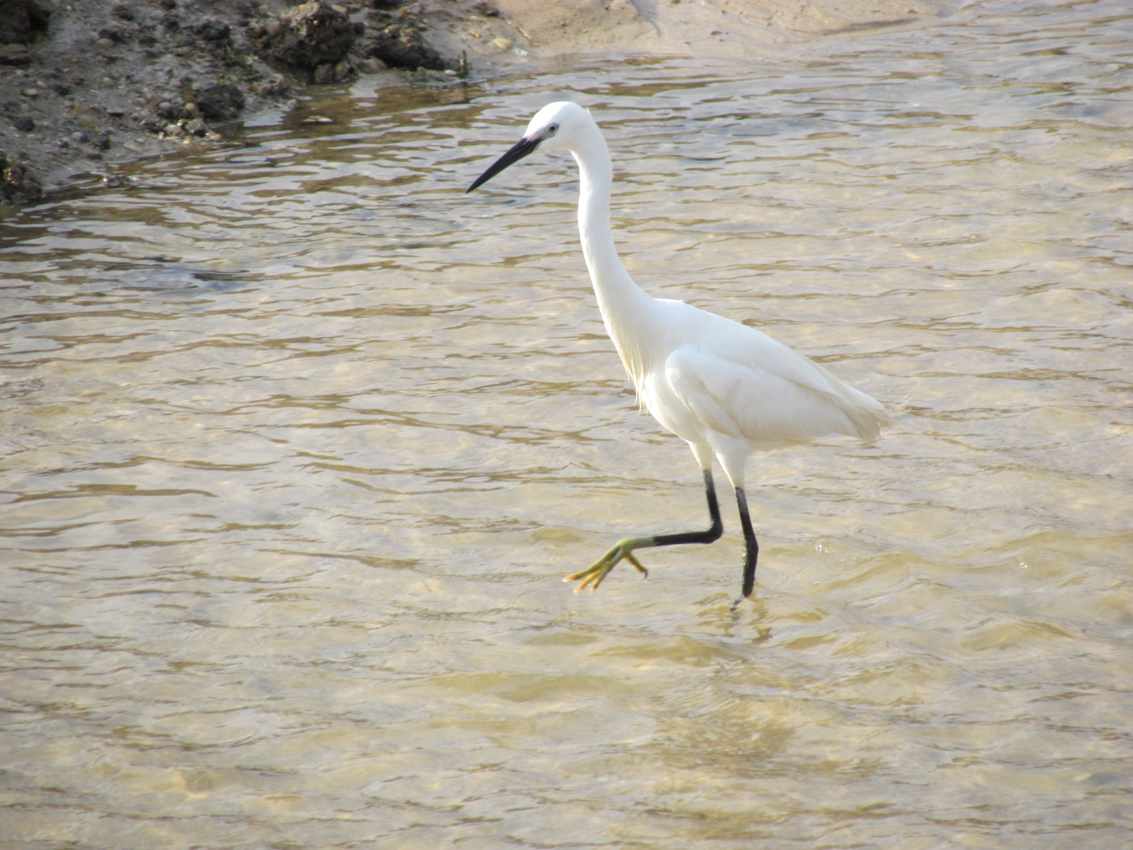 Little Egret walking in the water