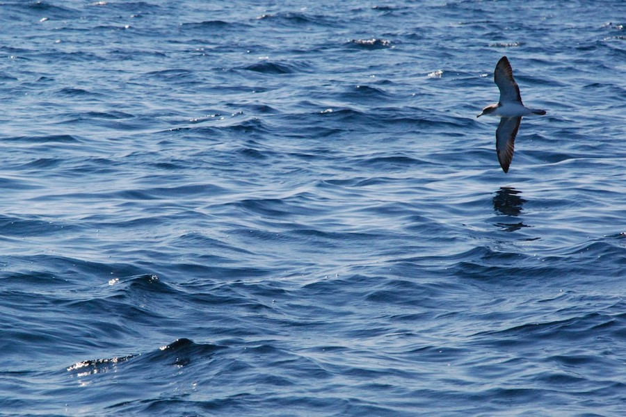 Cory's Shearwater flying over the sea