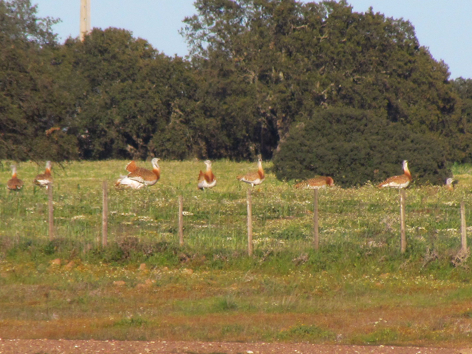 Great Bustard in a field