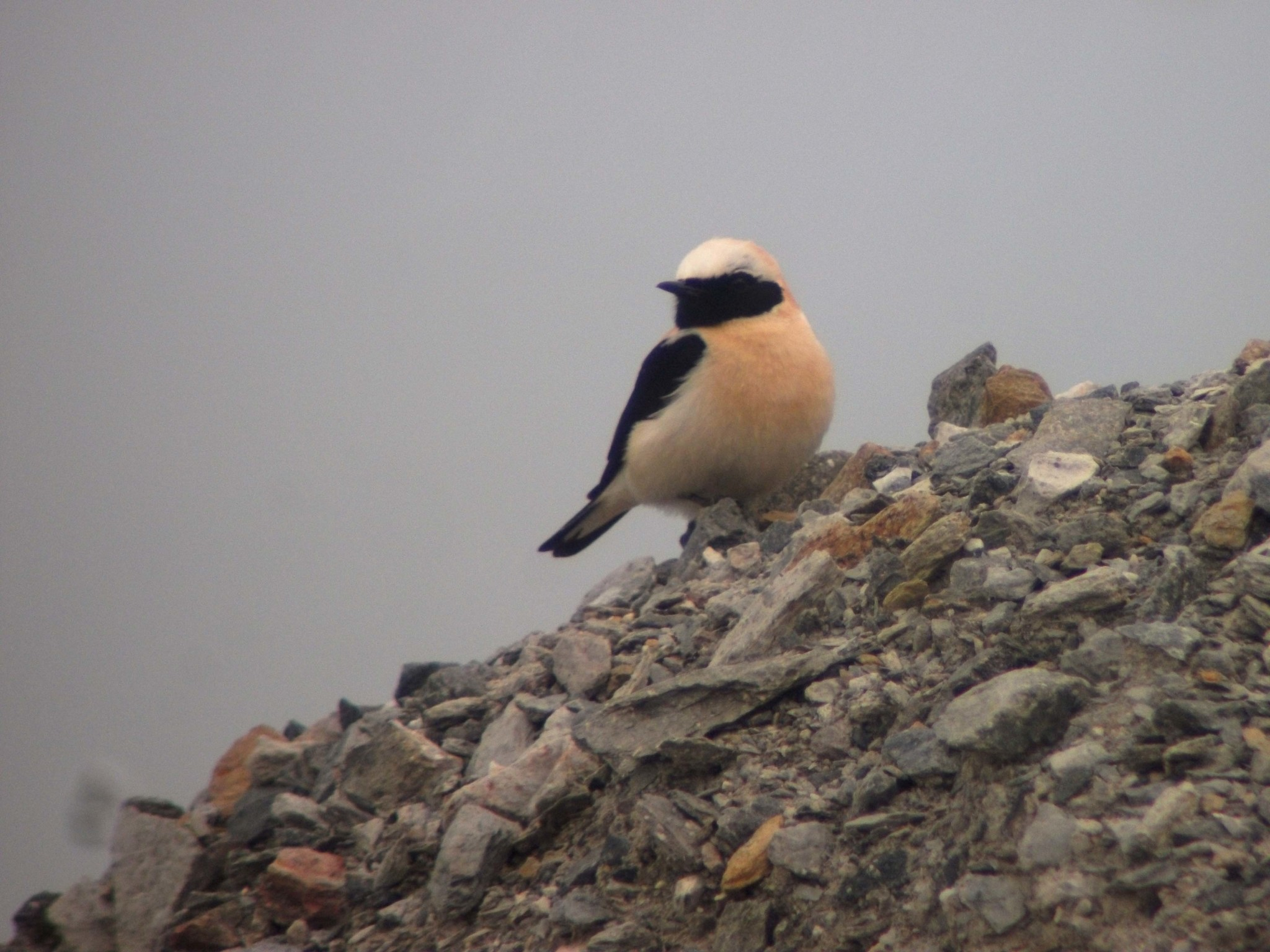 Black-eared Wheatear perched on a pile of rocks