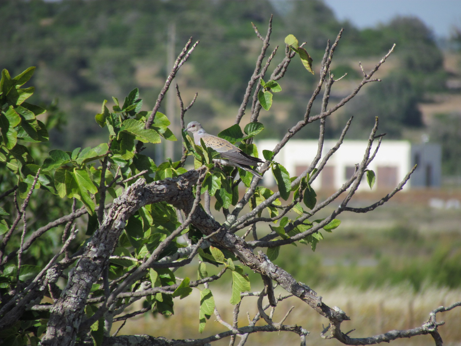 Turtle Dove in a fig tree