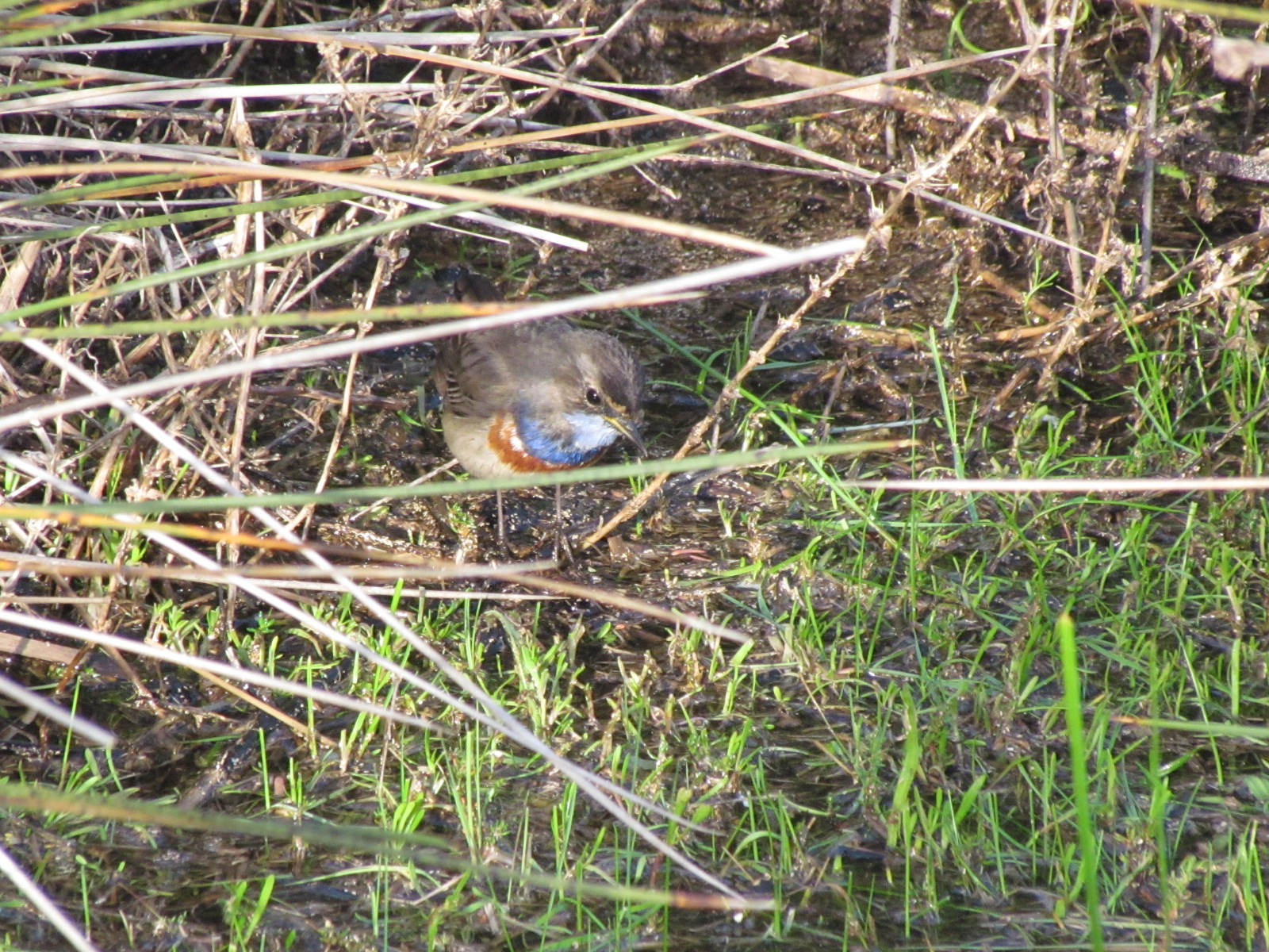 Bluethroat in the vegetation