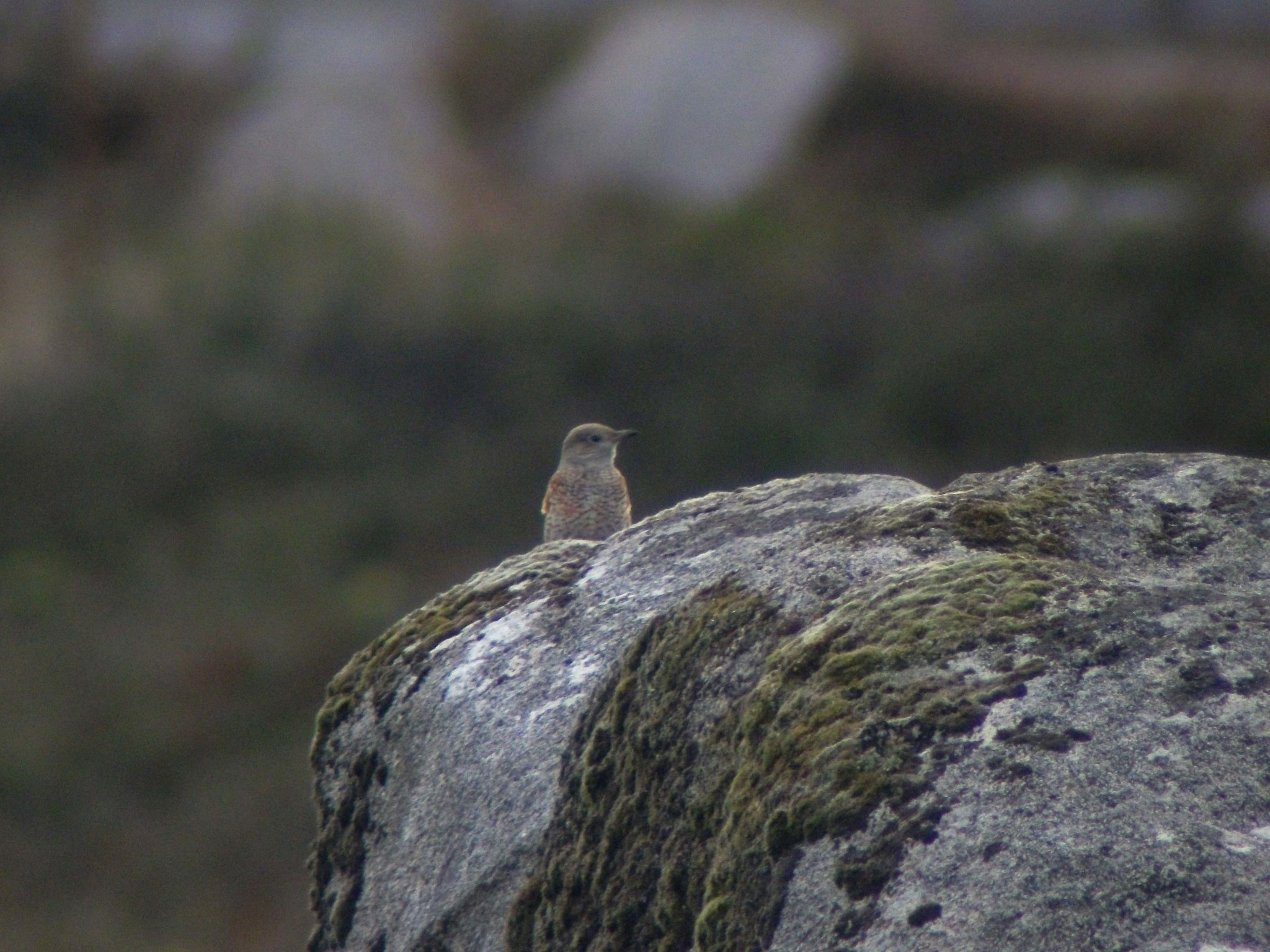 Rock-Thrush on a rock