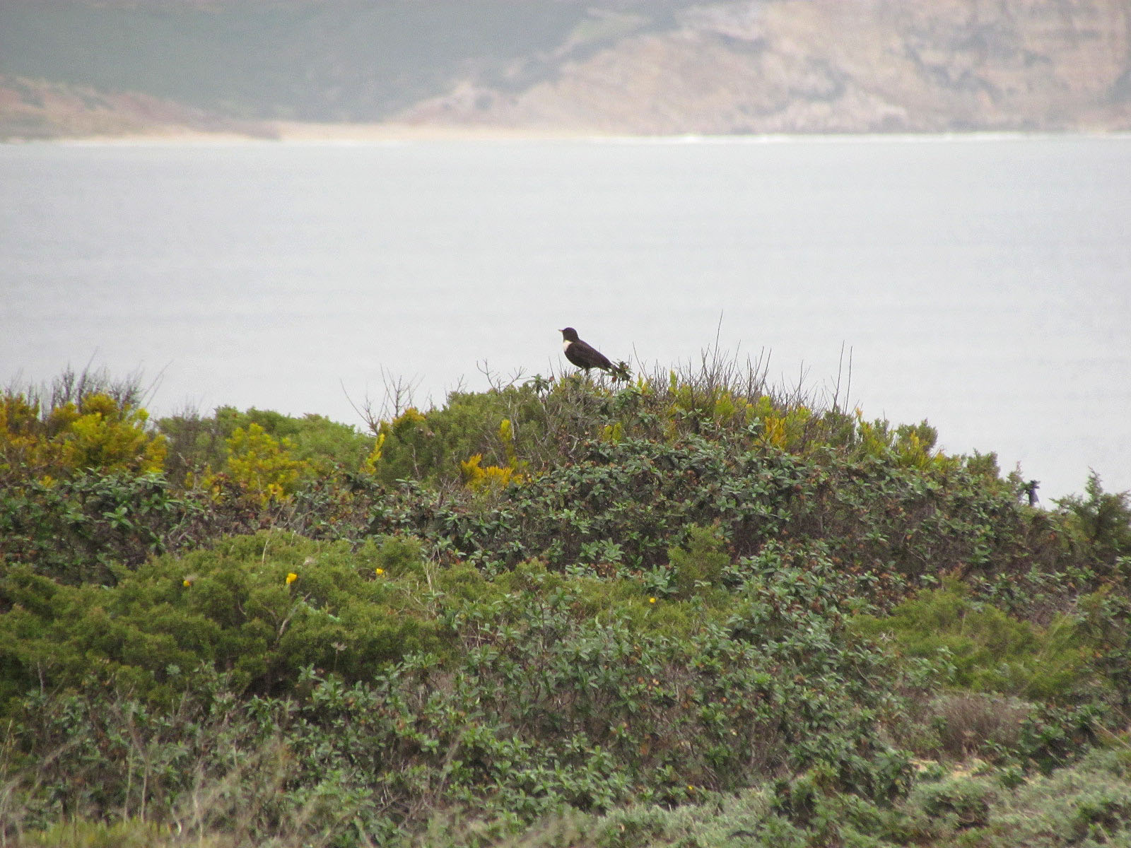 Ring Ouzel on top of a bush