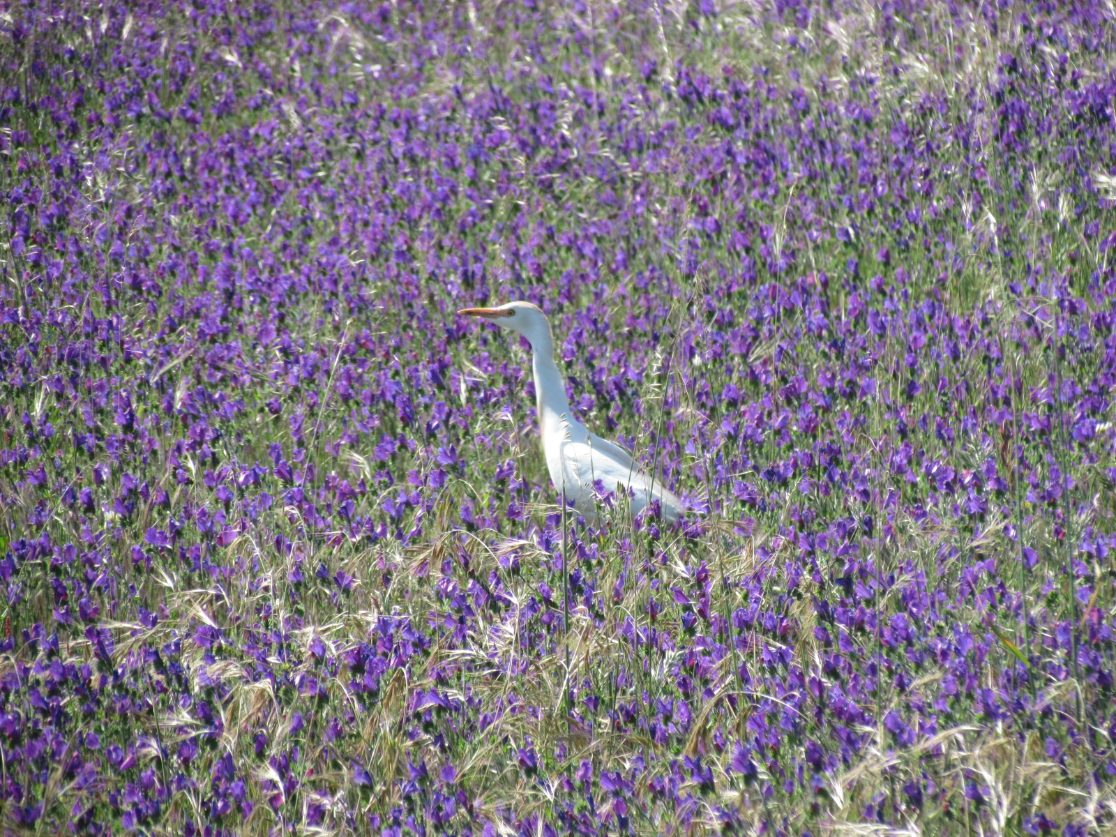 Cattle Egret in a field of purple flowers