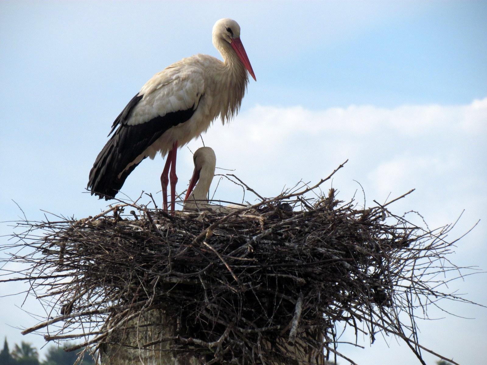 Stork on its nest