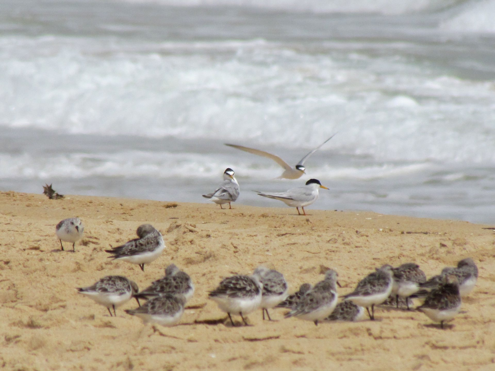 Sanderlings and Little Terns on the beach