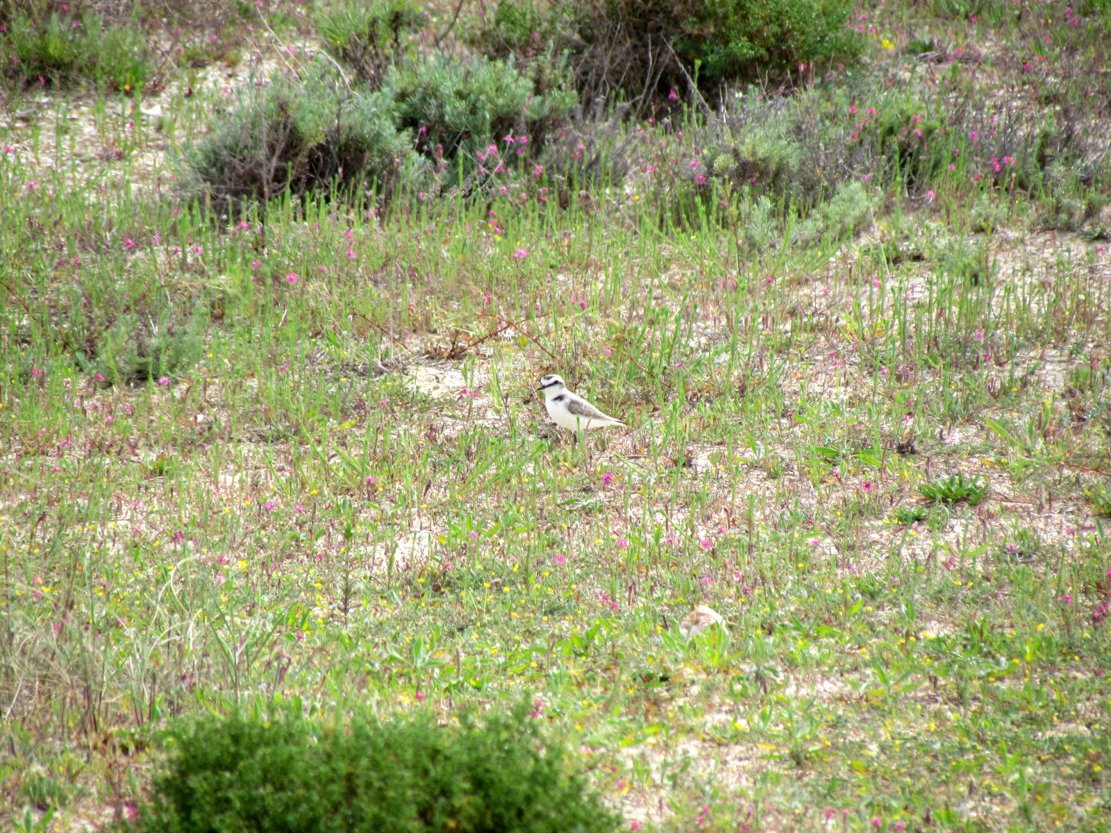 Kentish Plover on the ground
