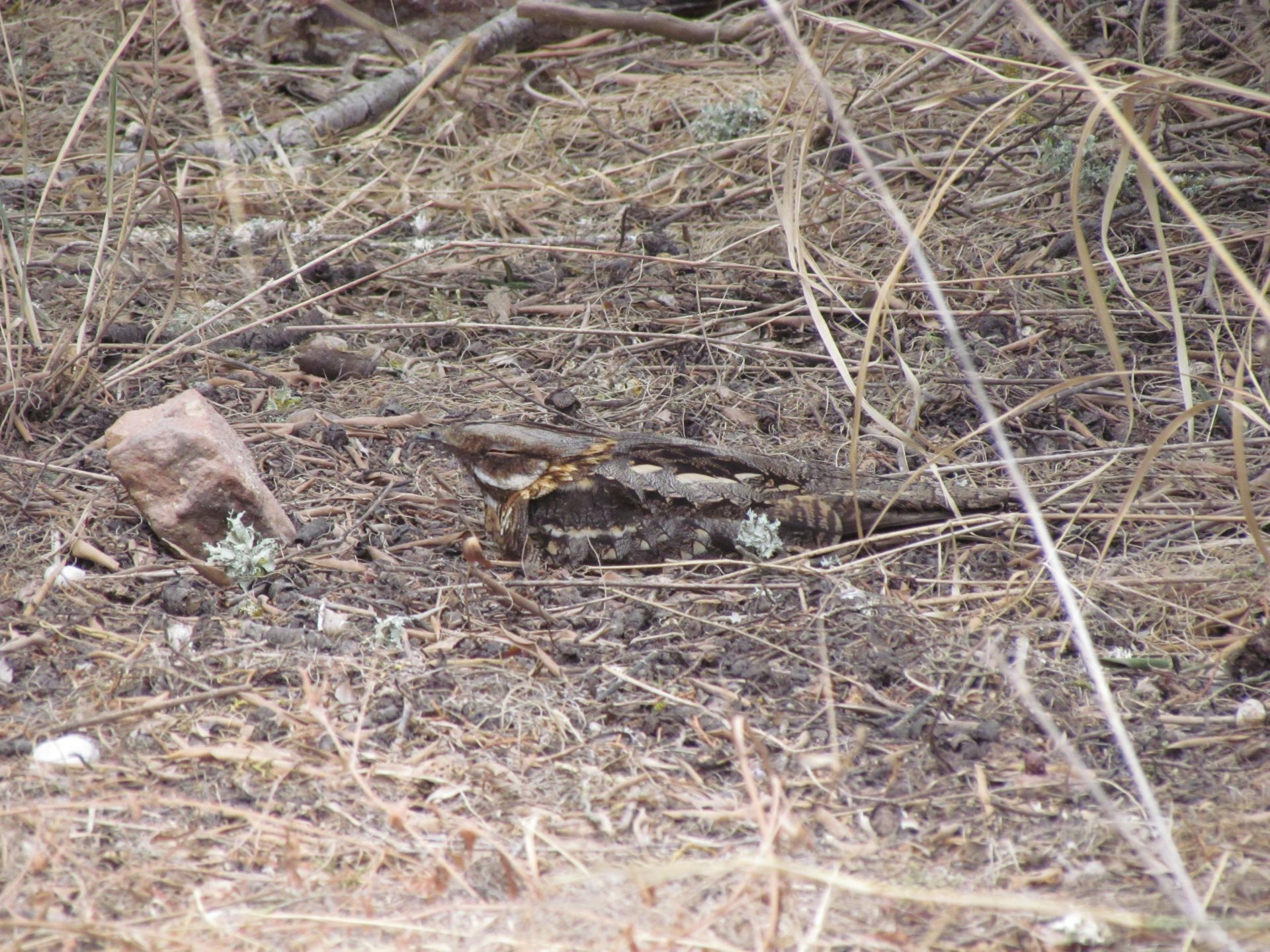 Red-necked Nightjar sleeping