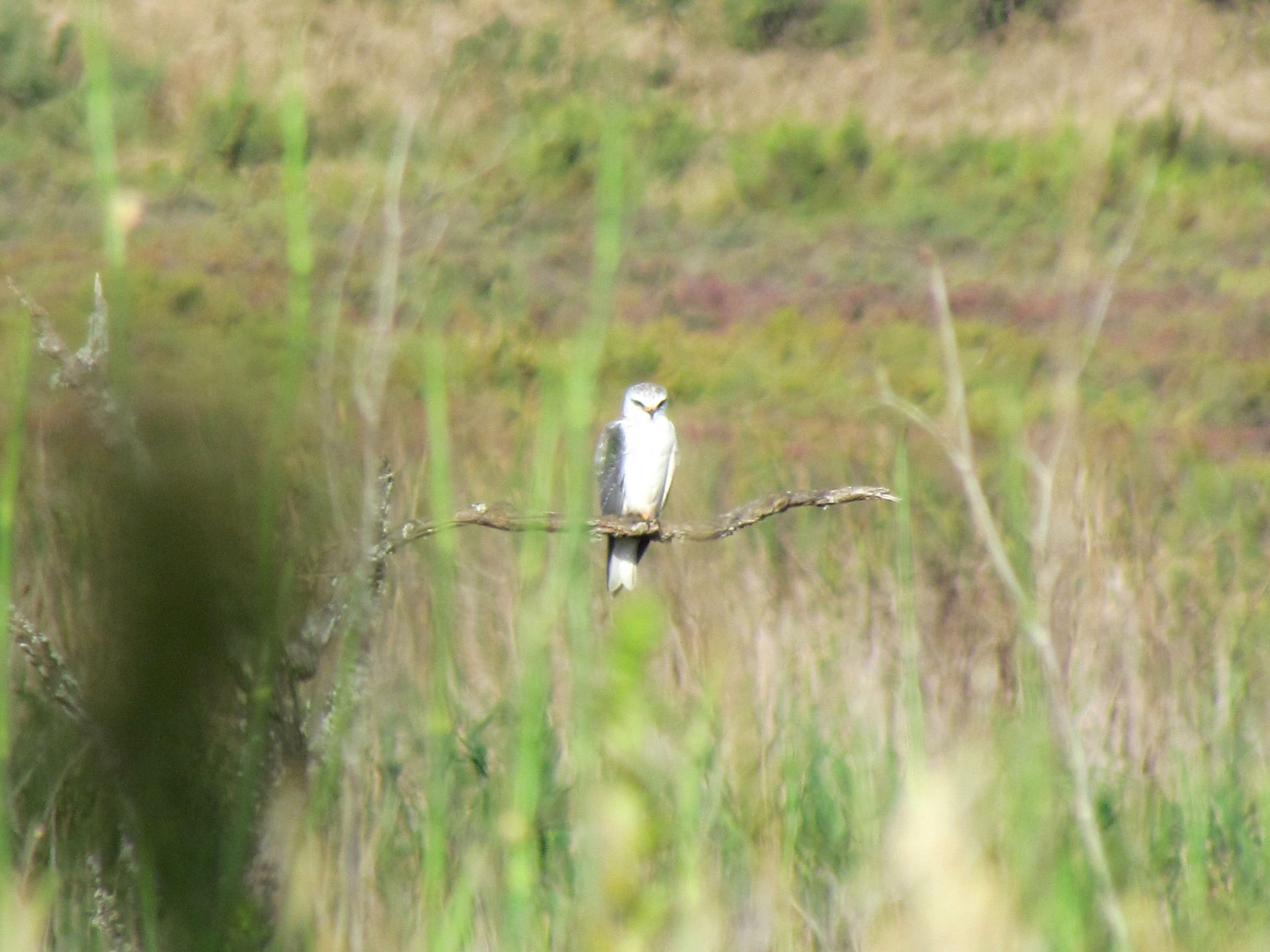 Juvenile Black-winged Kite perched on a branch