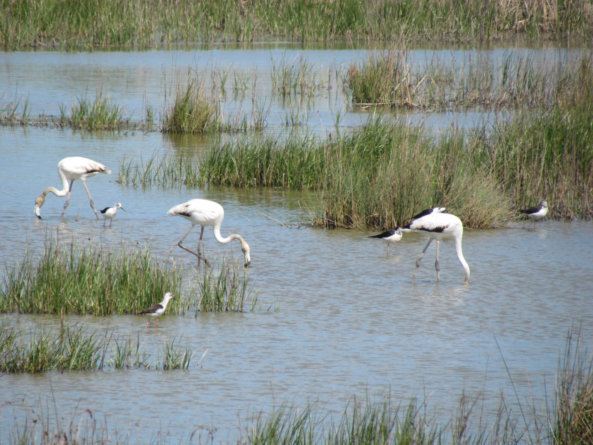 Flamingos and Black-winged Stilts in a wetland
