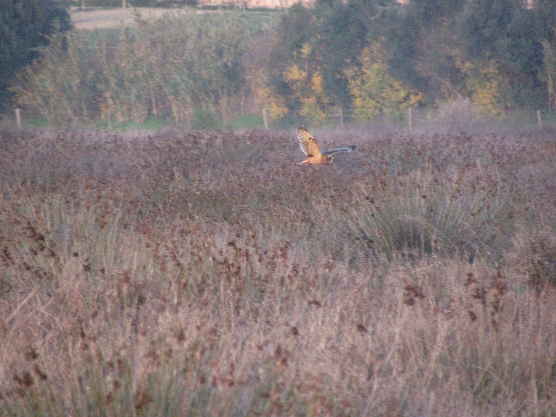 Short-eared Owl flying over a marsh