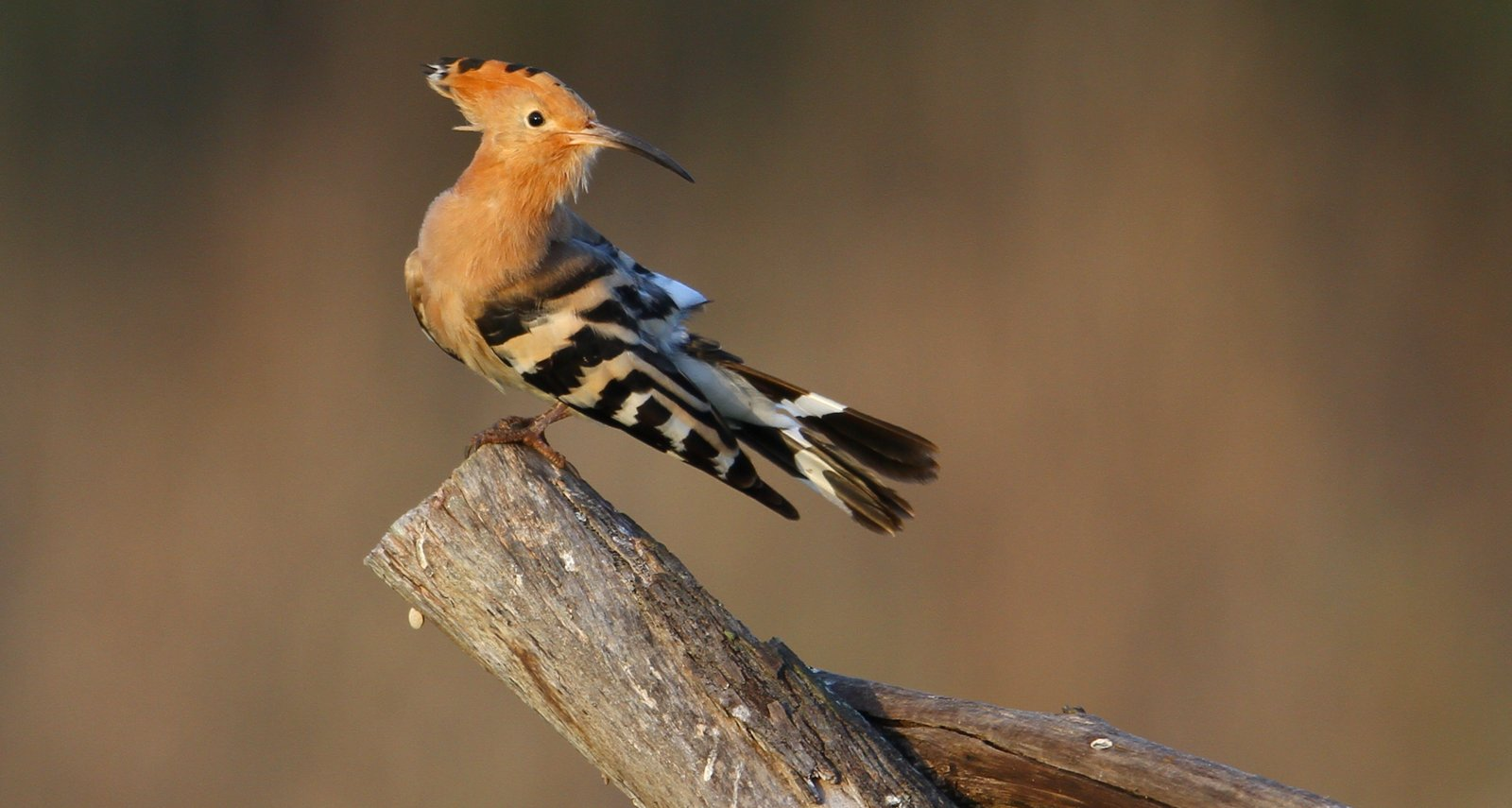 Hoopoe perched on a branch