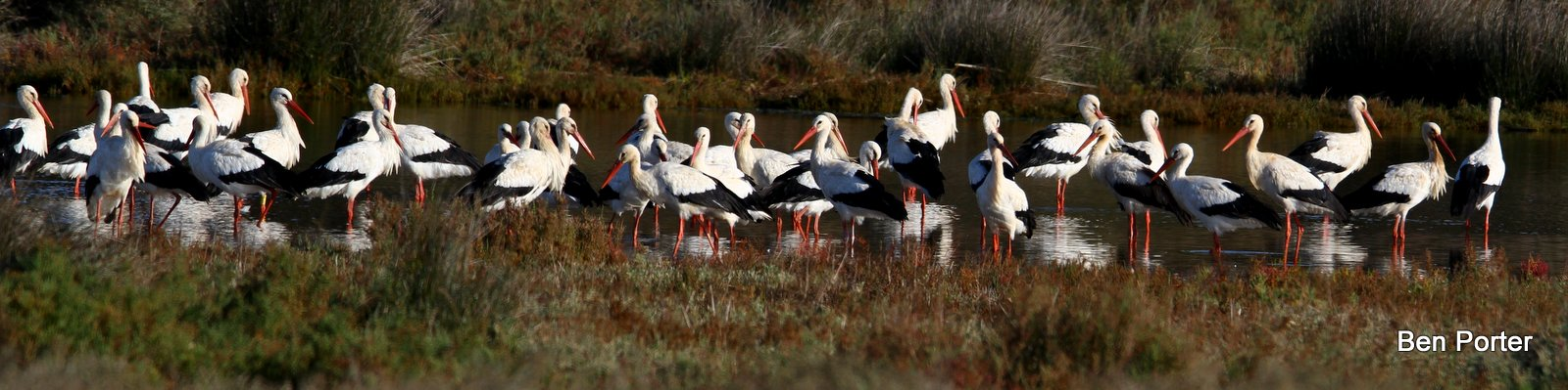 a group of storks