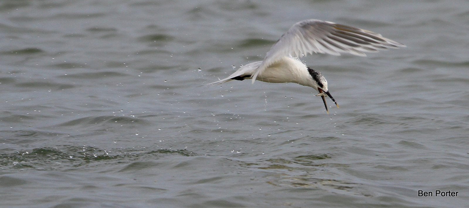 Sandwich Tern fishing