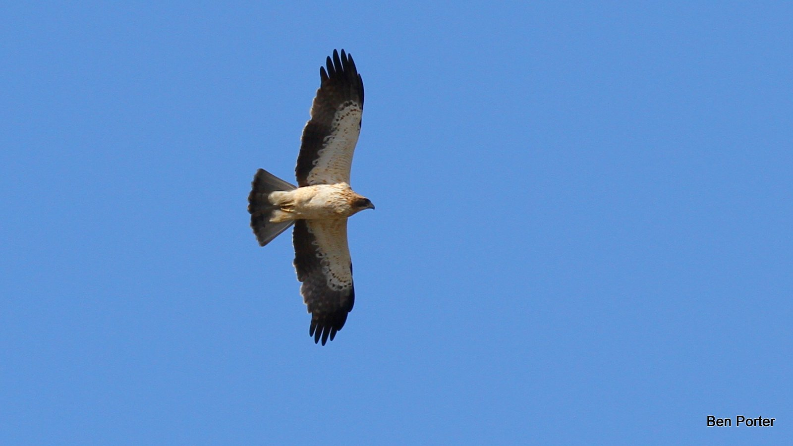 Booted Eagle soaring