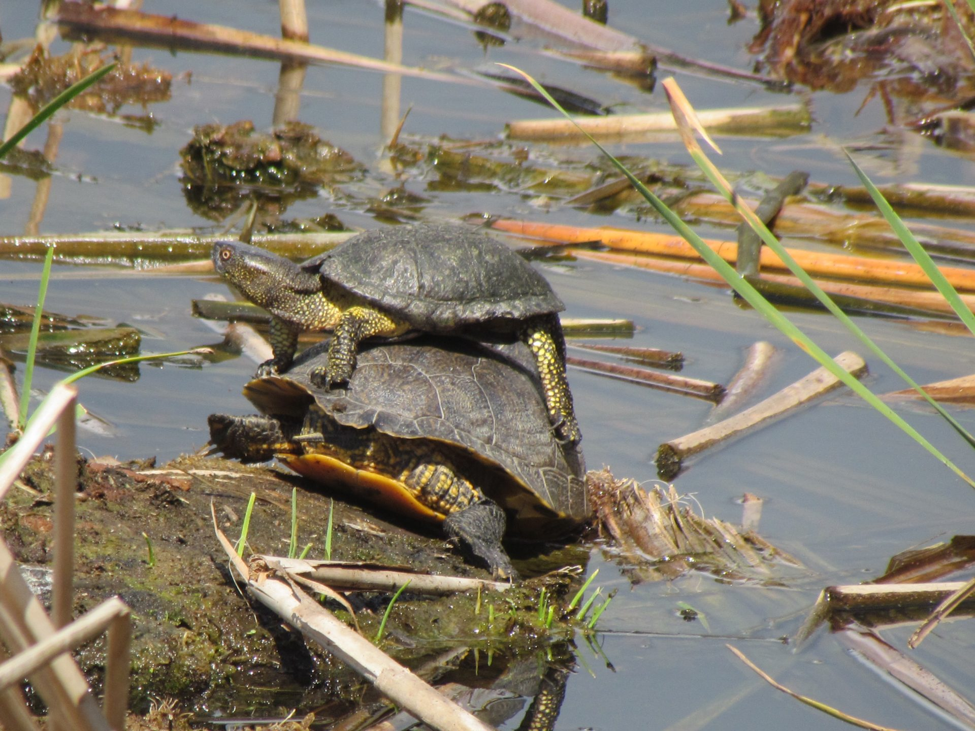 European Pond Turtle sunbathing