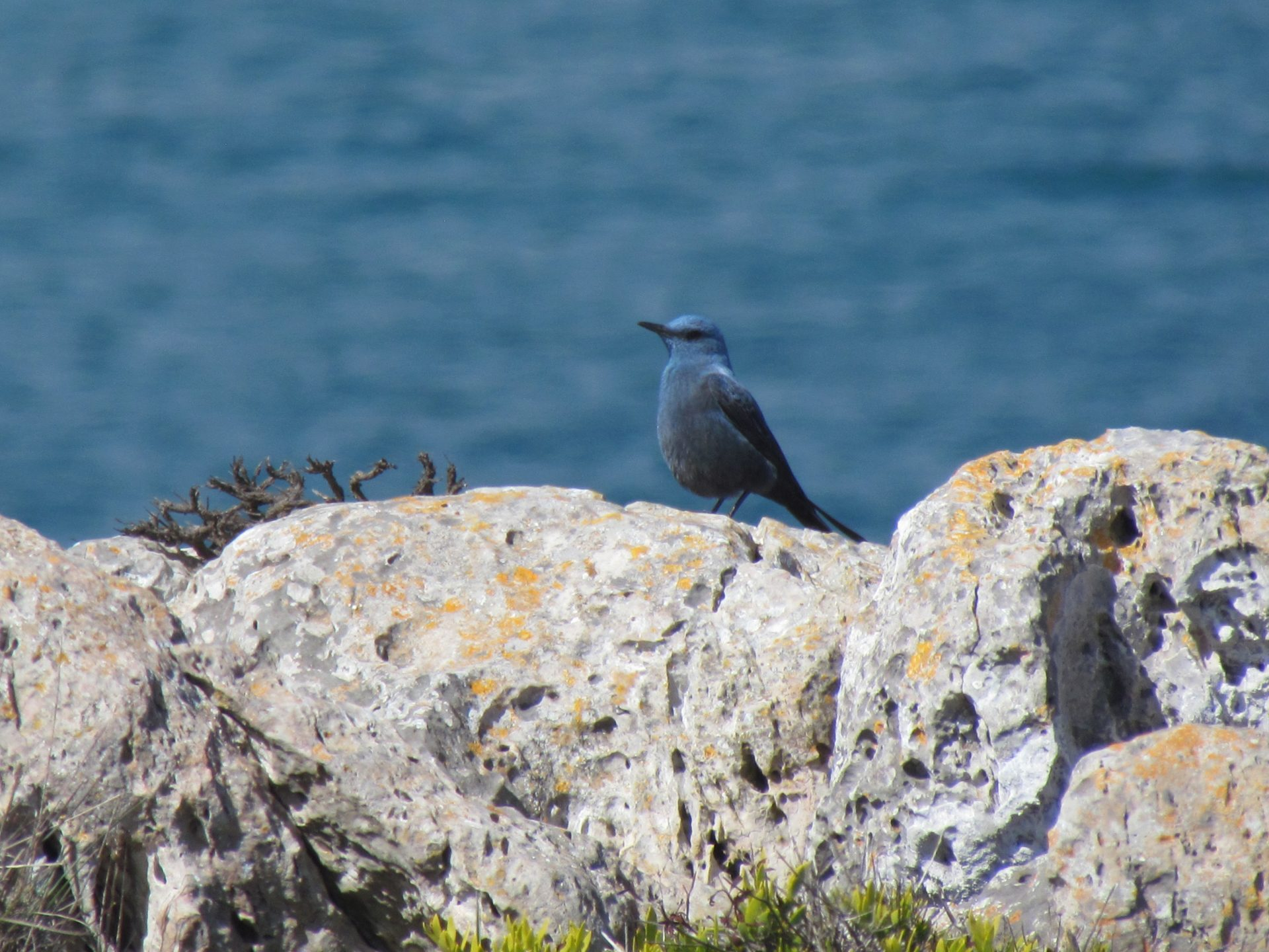 Blue Rock Thrush on a rock