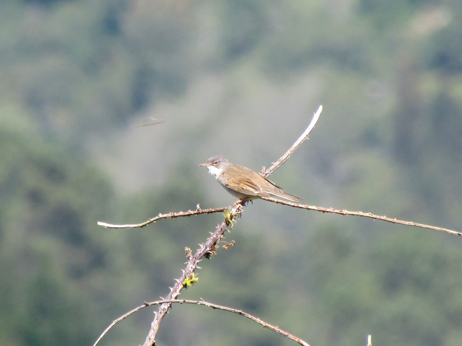 Whitethroat perched on bramble