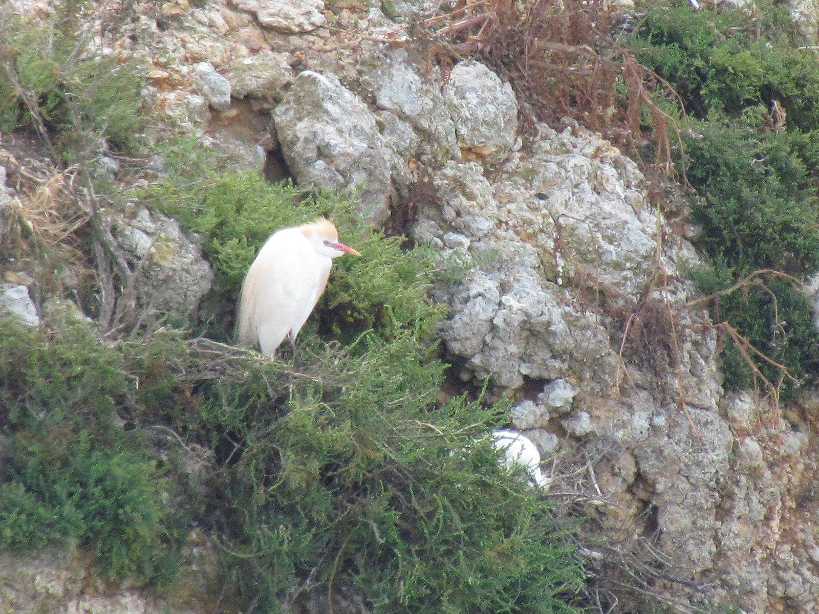 Cattle Egret on the nest