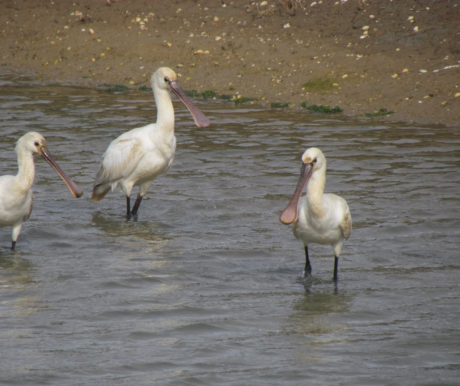 Spoonbills in water