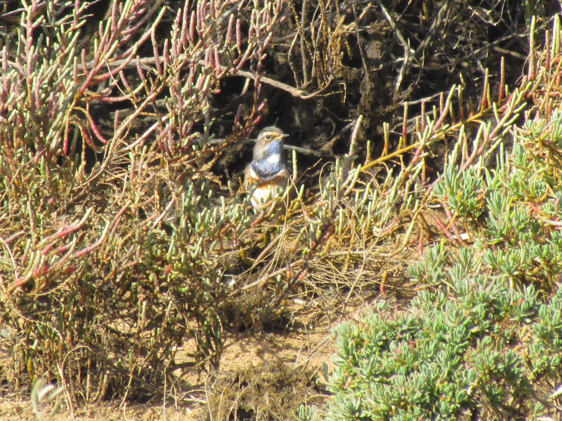 Bluethroat in front of a bush