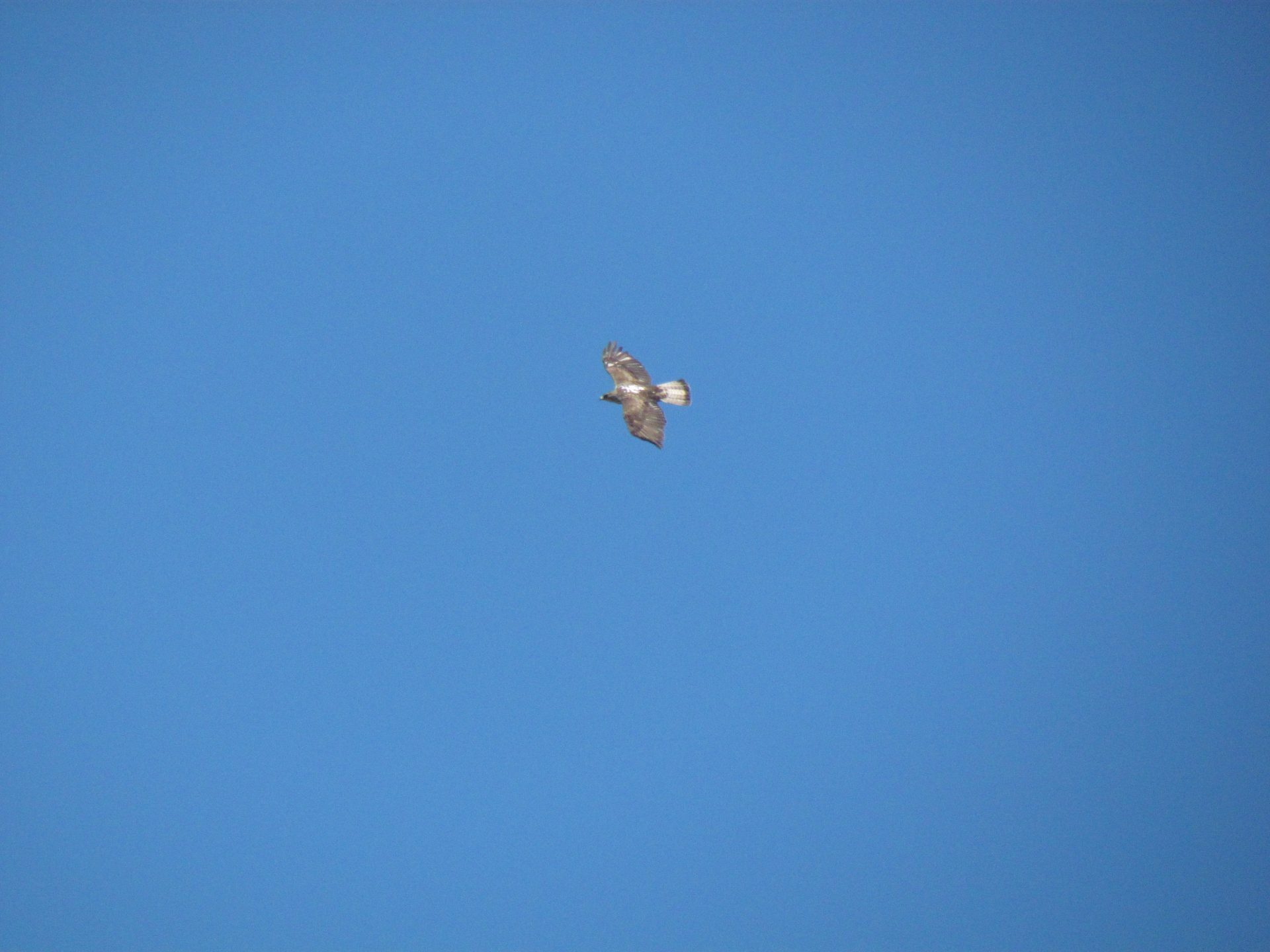 Bonelli's Eagle flying