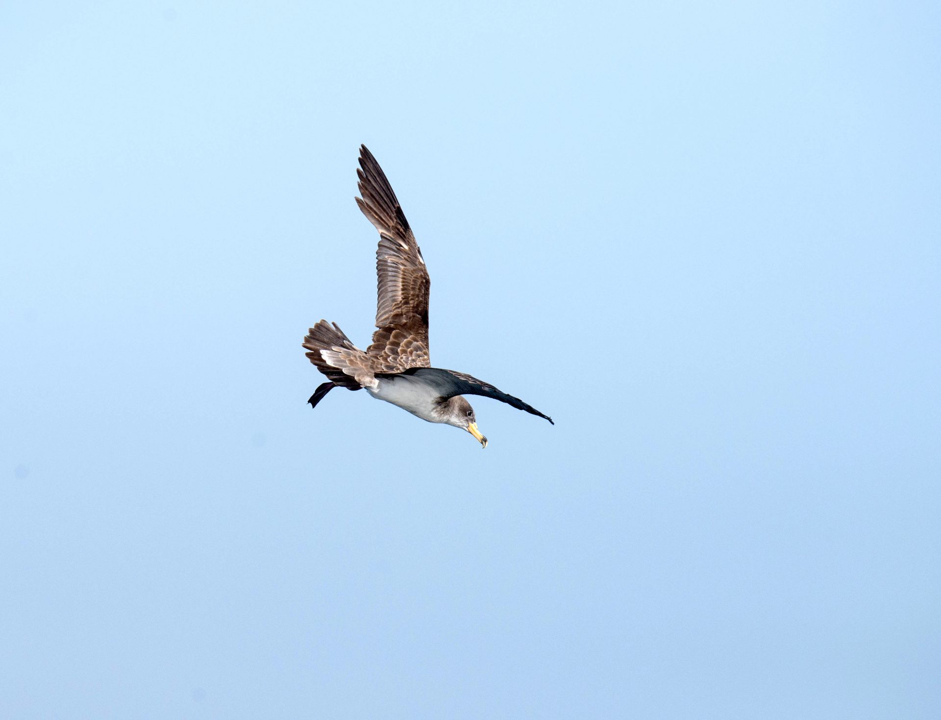 Cory's Shearwater flying