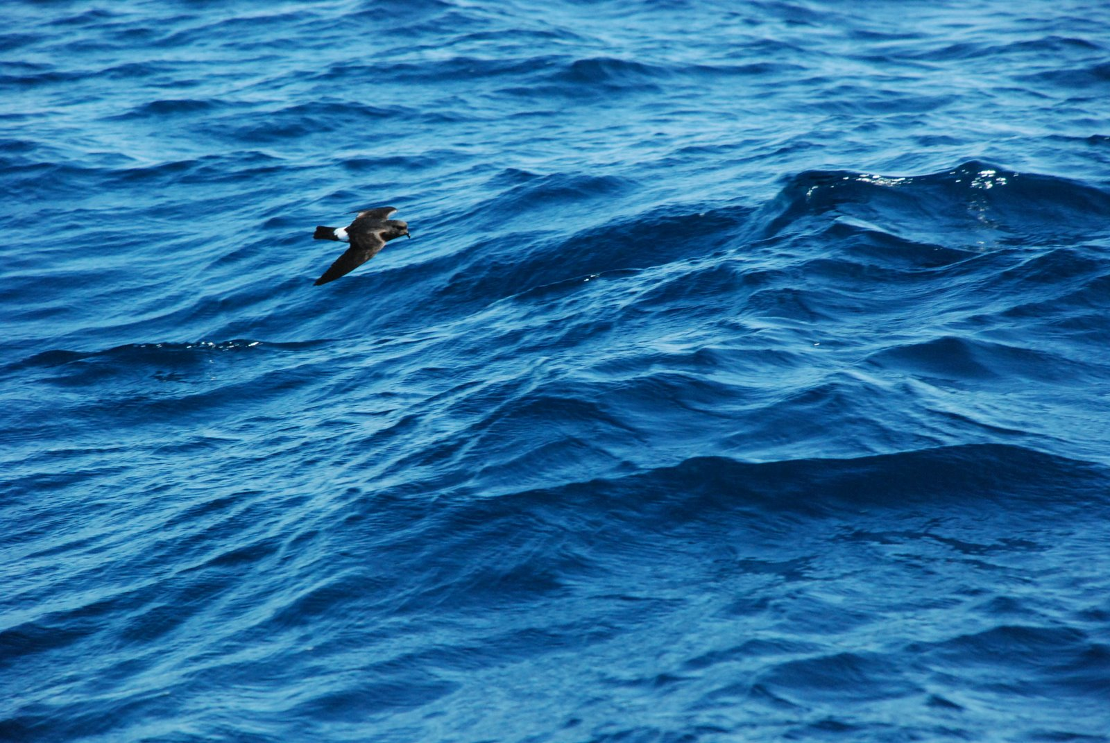 Storm-Petrel flying over the sea