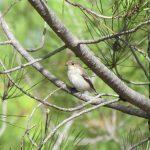 Pied Flycatcher in a Pine Tree