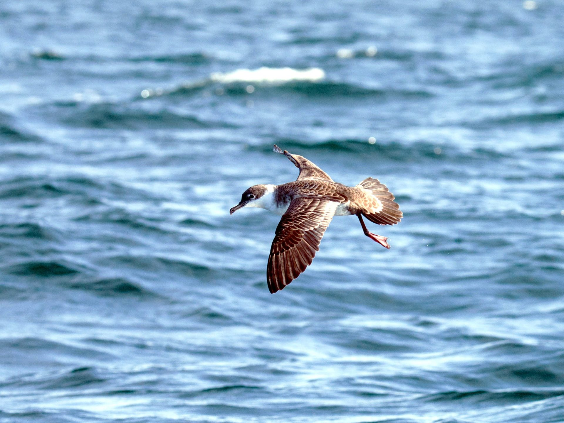 Great Shearwater over the sea