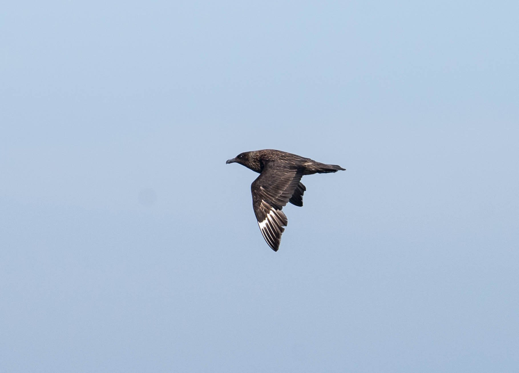 Great Skua flying