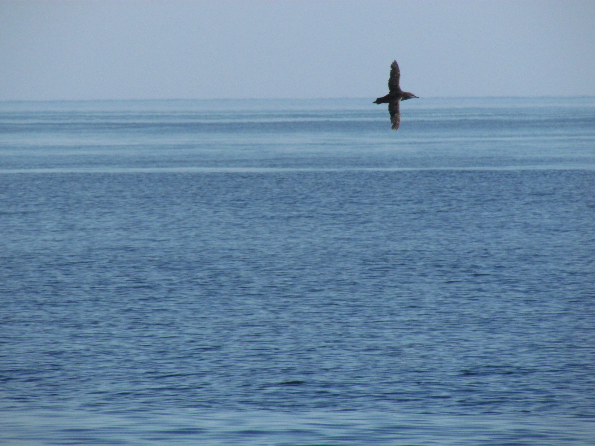 Balearic Shearwater flying over the sea