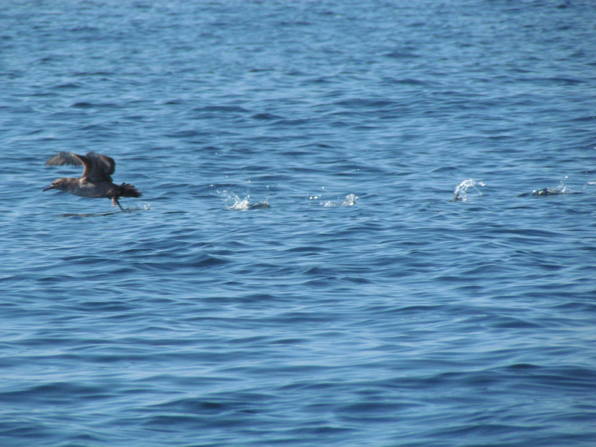 Balearic Shearwater taking off