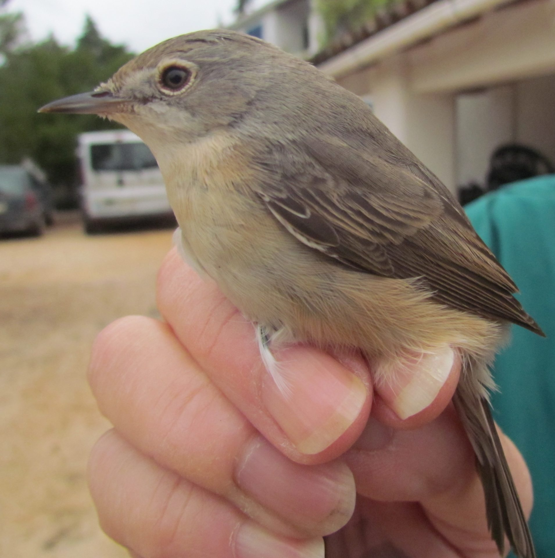 Subalpine Warbler in the hand