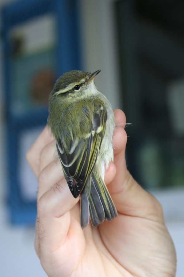Yellow-browed Warbler in the hand