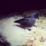 Storm-Petrel on a rock