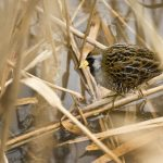 Sora in the vegetation