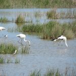 Flamingos and Black-winged Stilts