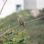 Rock Bunting perched on a bush