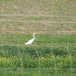 Great White Egret in a field
