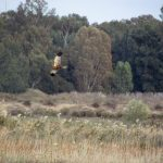 Marsh Harrier flying over a reedbed