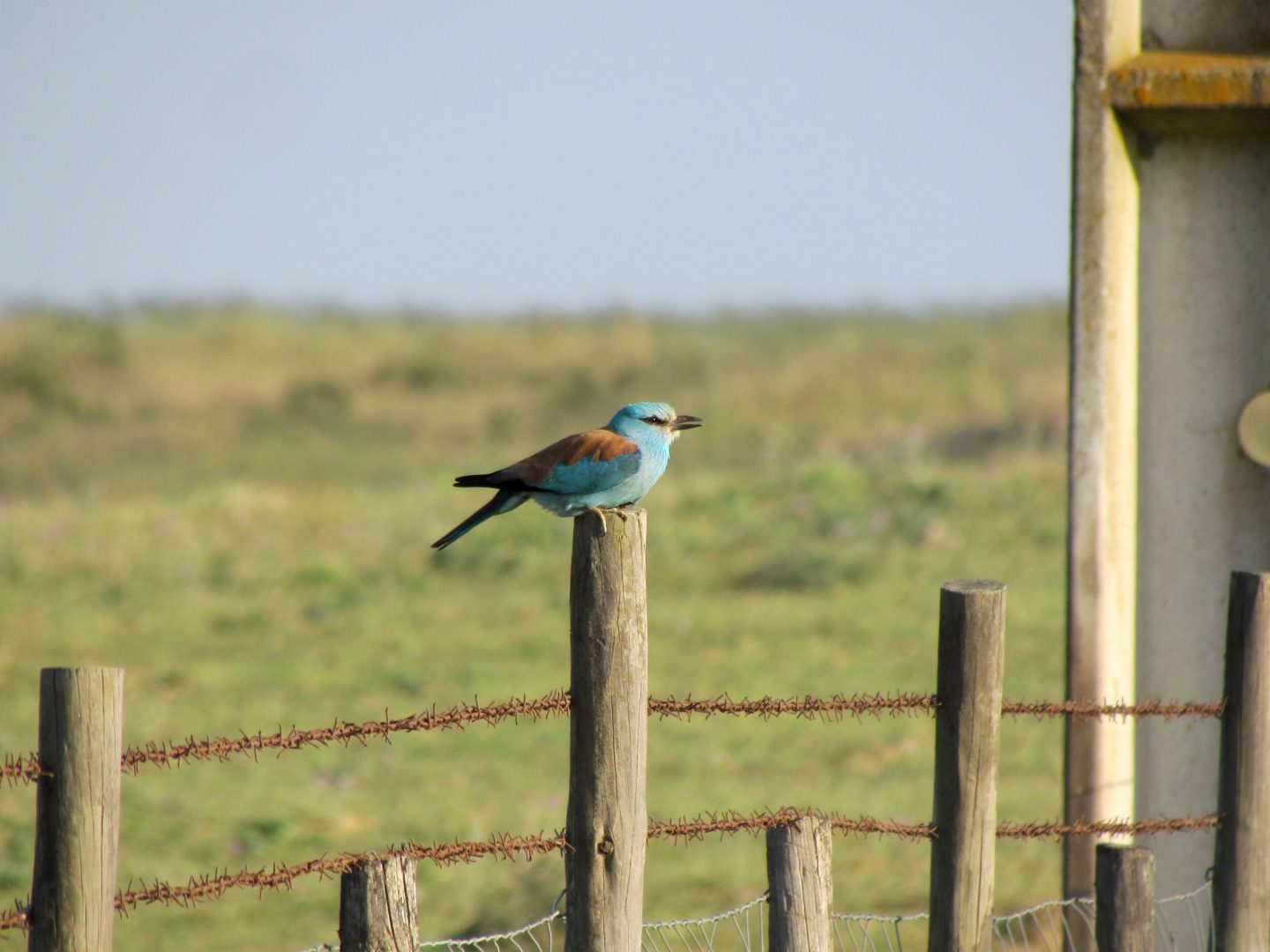Roller perched on a post