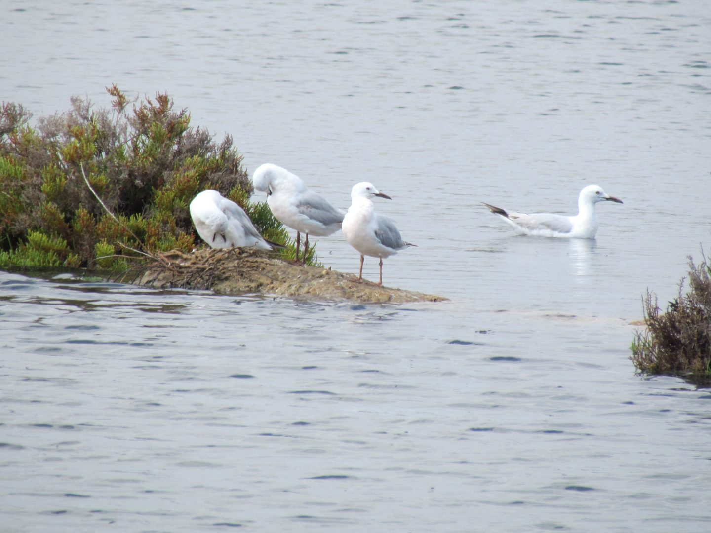 Slender-billed Gulls resting and swimming