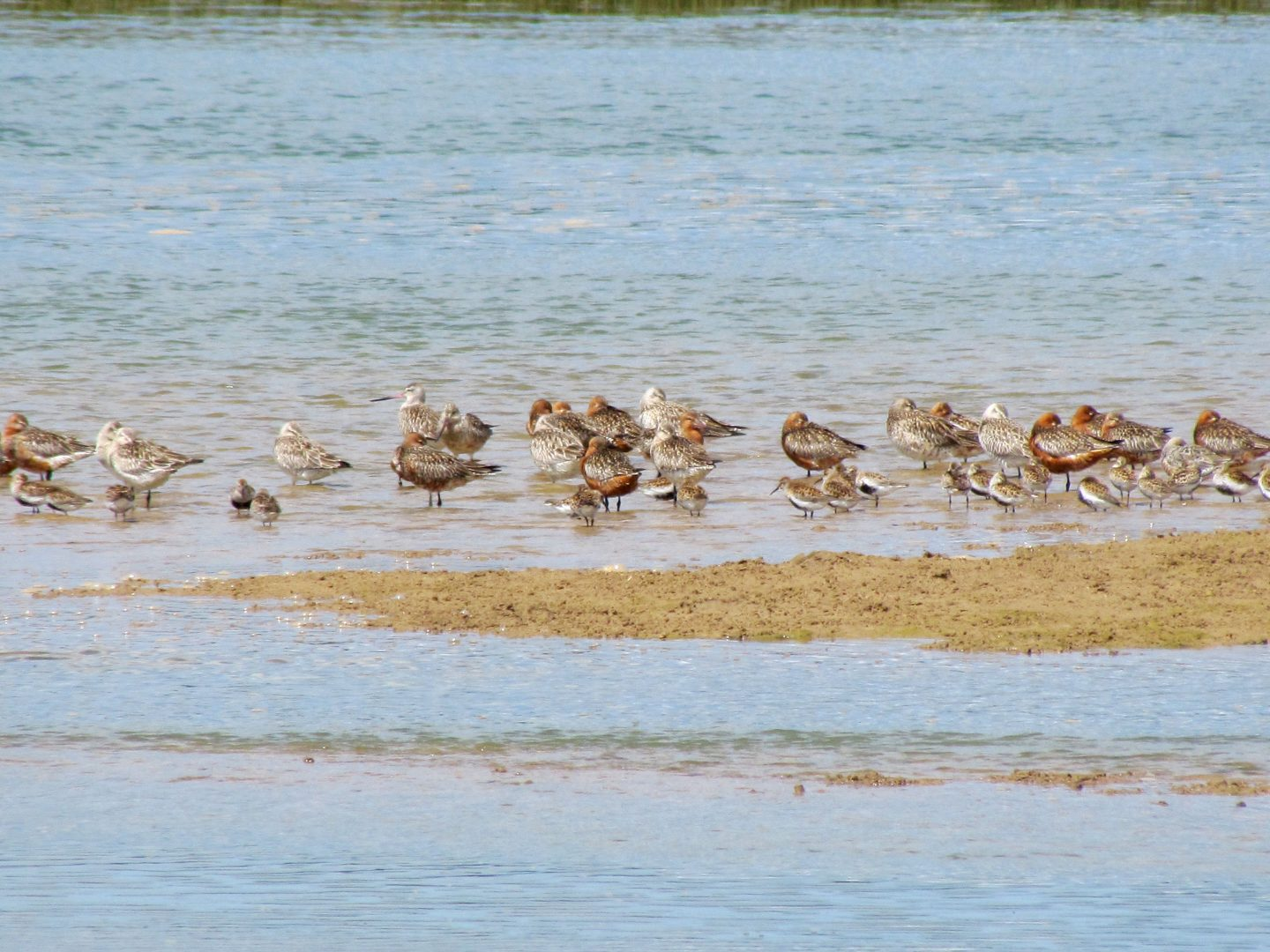 Waders resting in the water