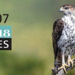 Festival Sagres. Bonelli's Eagle